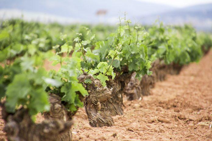 Variedades cultivadas en La Mancha