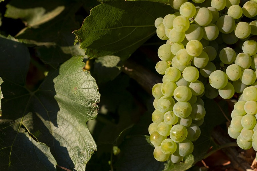 Racimo variedad Chardonnay